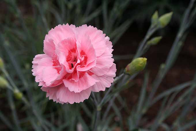 A close up of a bright pink and red Dianthus flower on a soft focus background.
