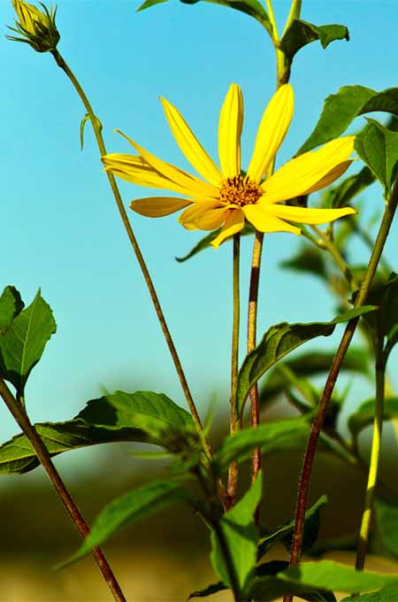 A close up vertical picture of a bright yellow Jerusalem artichoke bloom on a blue background.