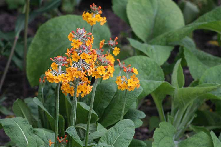 A close up of the bright orange blooms of Primula bulleyana, surrounded by green foliage.