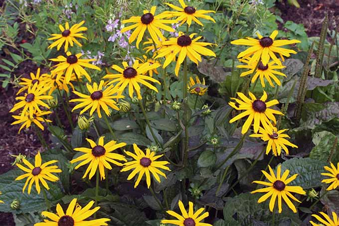 A close up of the bright yellow flowers of Rudbeckia fulgida 'Goldsturm,' growing in the garden, surrounded by green foliage.