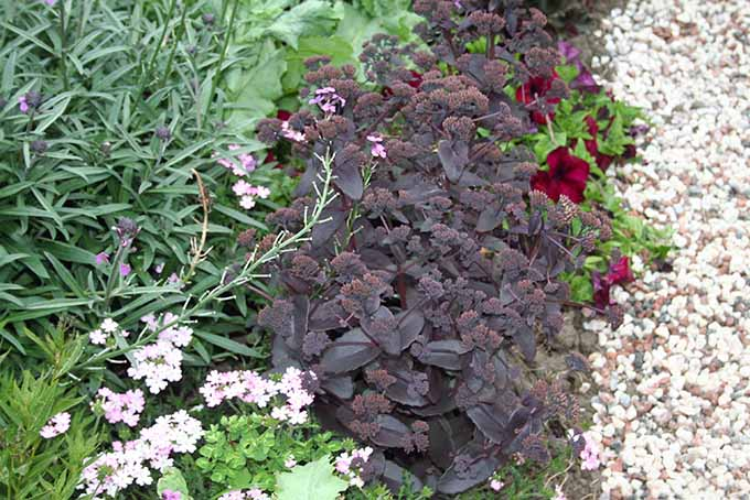 A close up of the dark purple foliage of Sedum 'Purple Emperor,' growing next to a gravel path with green foliage to the left of the frame.