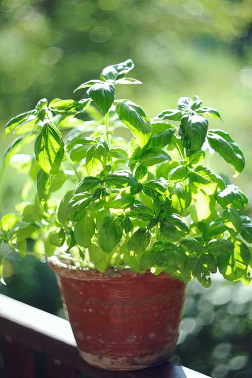 An Old Basil Plant | Gardenerspath.com
