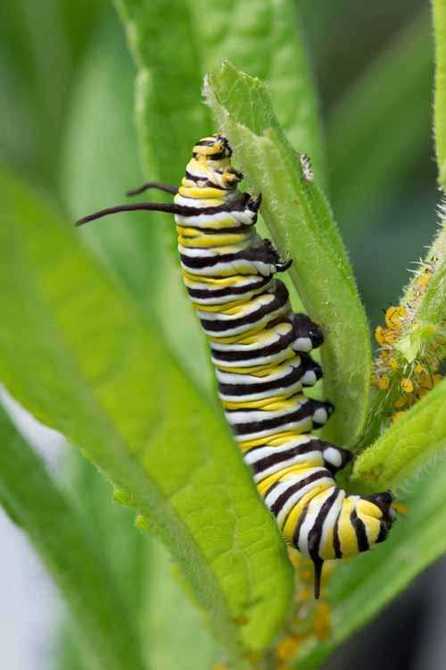 A close up of a black, yellow, and white striped caterpillar feeding from leaves.