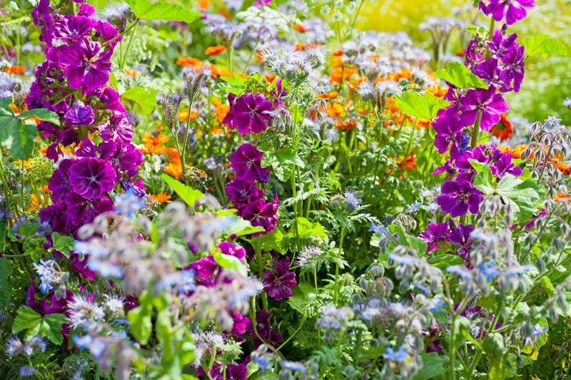 Countryside garden with sweet cicily, English marigold, mallow and many other flowers.