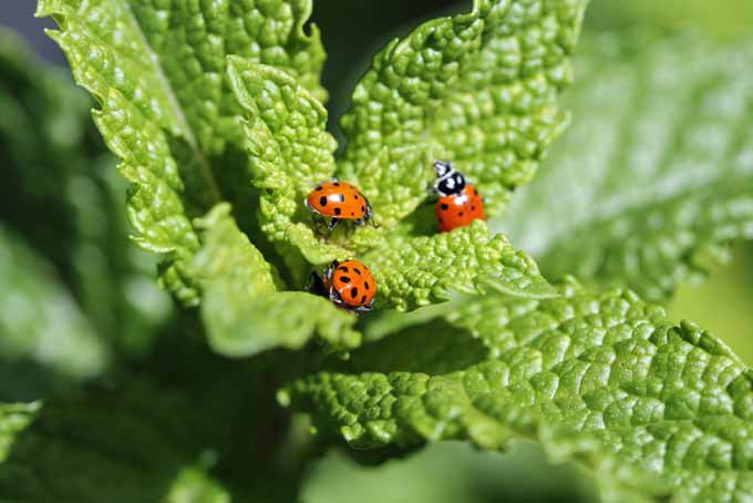 A close up of ladybug beetles on green foliage, pictured in bright sunshine.