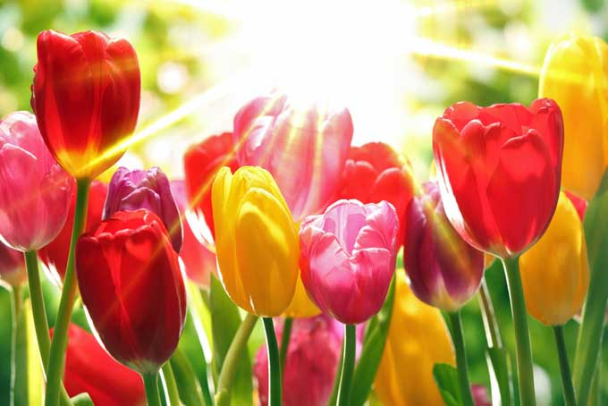 A close up of red and orange tulips pictured in bright sunlight on a soft focus background.