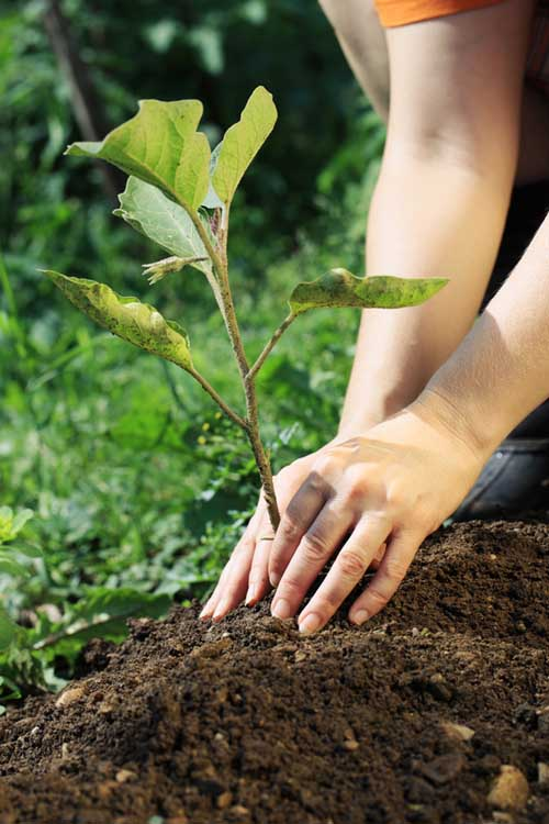 A vertical picture of two hands from the right of the frame planting a small shrub in the garden.