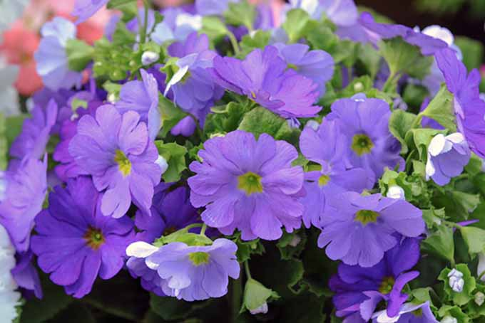 A close up of the delicate purple blooms of spring primroses in light sunshine.