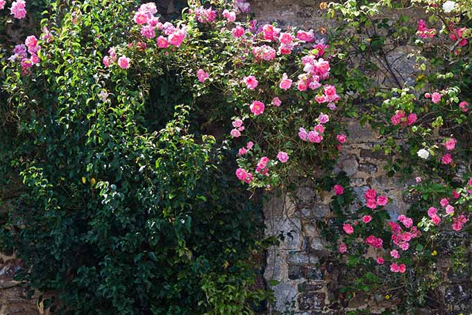 Climbing roses up a stone wall in an English country garden in the spring sunshine.