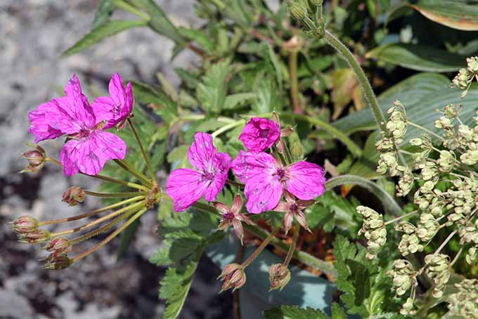 A close up of the delicate purple blooms of Erodium manescavii growing in the spring garden.