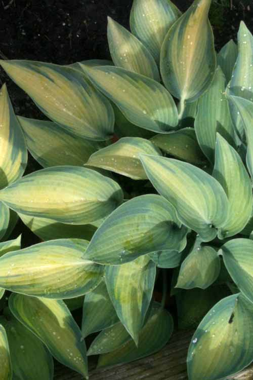 A vertical close up of the variegated foliage of Hosta reversa growing in a shady spot in the spring garden.