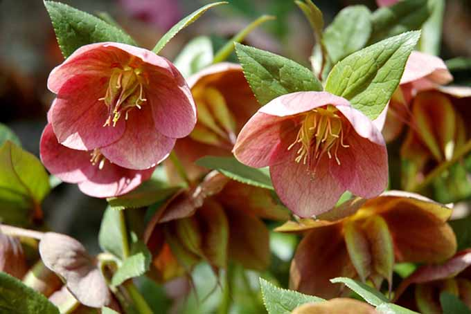 A close up of the delicate nodding flowers of a purple hellebore, pictured in the spring sunshine.