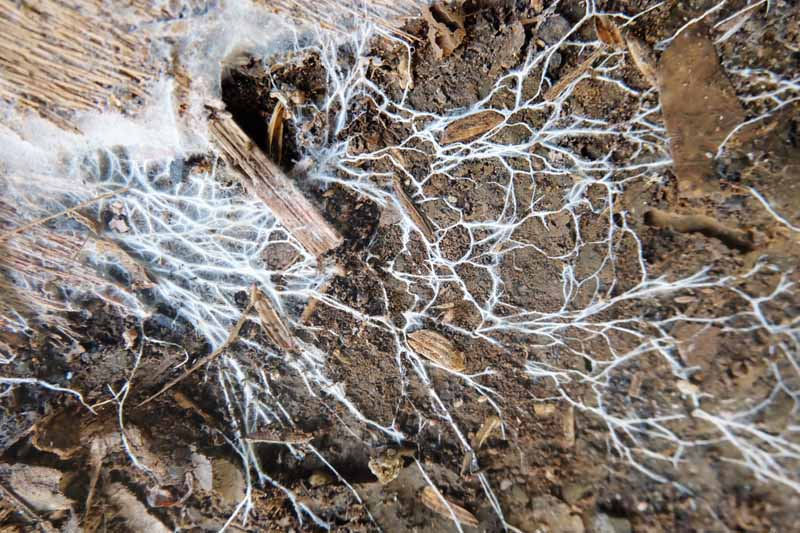 Close up of a white beneficial fungus spreading across the soil.