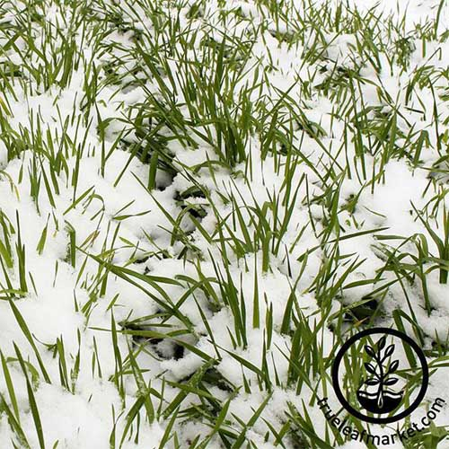 Snow covered green winter rye.