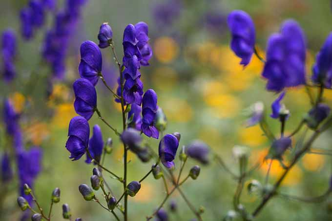 A close up of the delicate purple flowers of aconite growing in the garden, pictured on a soft focus background.