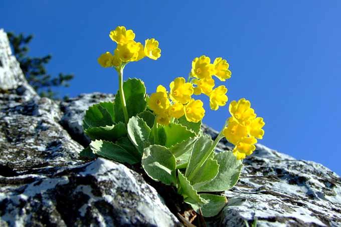 Alpine Auricula | GardenersPath.com
