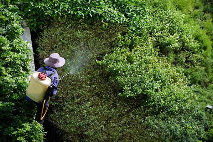 A top down picture of a gardener applying chemical fertilizer from a backpack sprayer.
