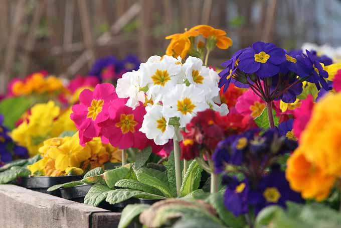 Auricula Varieties| GardenersPath.com