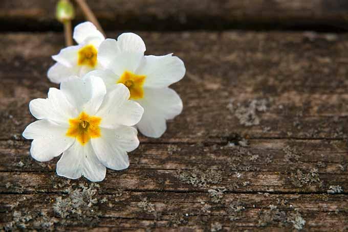 Auriculas Barnhaven | GardenersPath.com