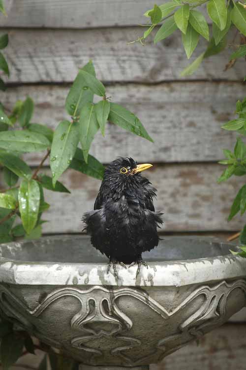 A close up of a black bird on the side of a metal bowl with a rustic fence in the background.