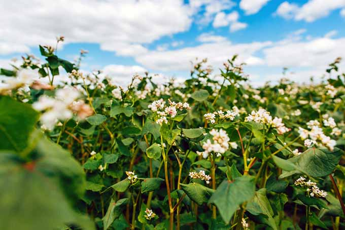 Buckwheat Cover Crop | GardenersPath.com