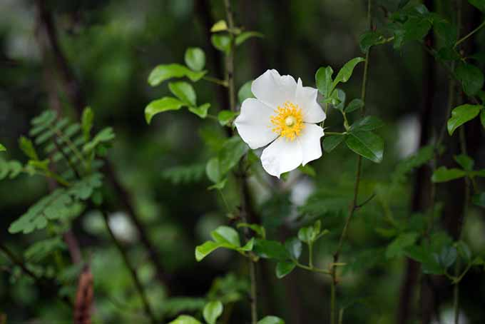 A close up of the delicate white flower with a yellow center of the Cherokee rose, growing in the garden on a soft focus background.