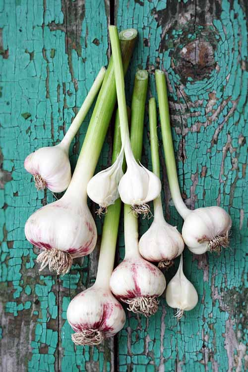If you love the pungent taste of garlic, you've got to try growing it yourself! Find out by reading this Gardener's Path article - along with some tips on its health and healing benefits: https://gardenerspath.com/plants/vegetables/growing-garlic