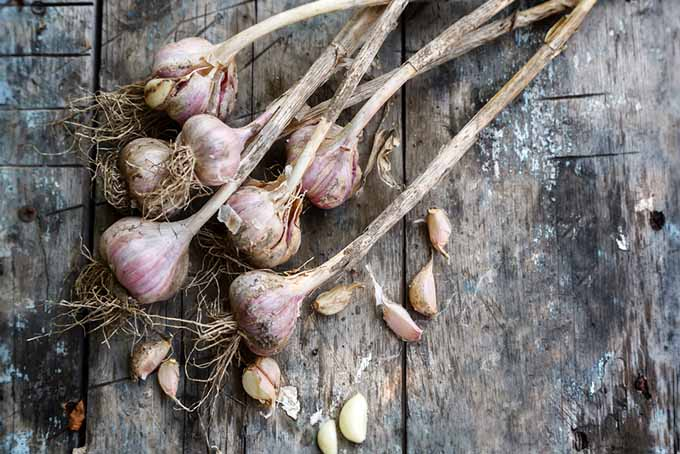 Dried and Cured Garlic | GardenersPath.com