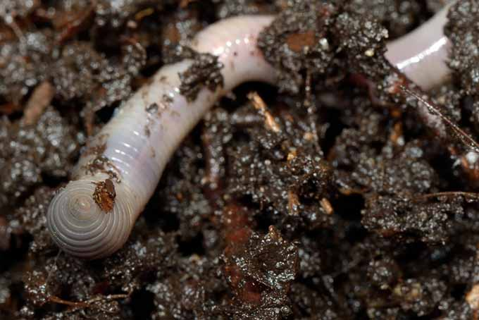 A close up of an earthworm in moist, rich soil.