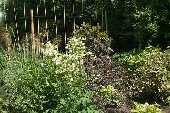Elder with Other Garden Plants | GardenersPath.com