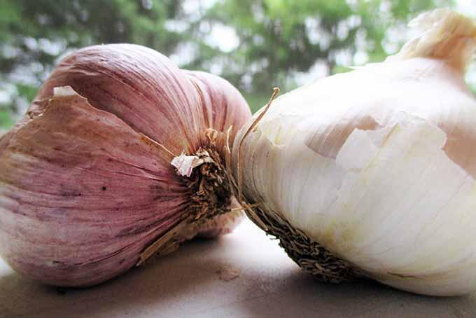 Garlic Bulbs | GardenersPath.com