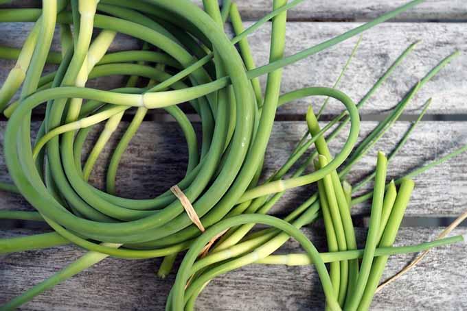 Garlic Scape Bunches | GardenersPath.com