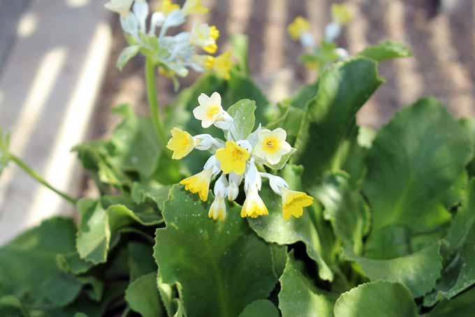 Auricula | GardenersPath.com