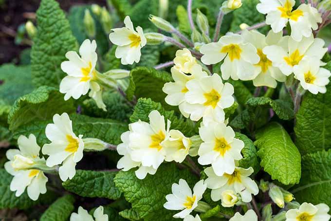 Primulas | GardenersPath.com