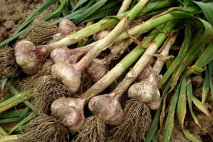 Freshly Harvested Garlic | GardenersPath.com