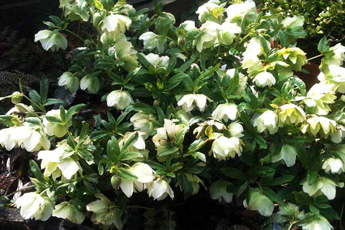 Hellebore | GardenersPath.com