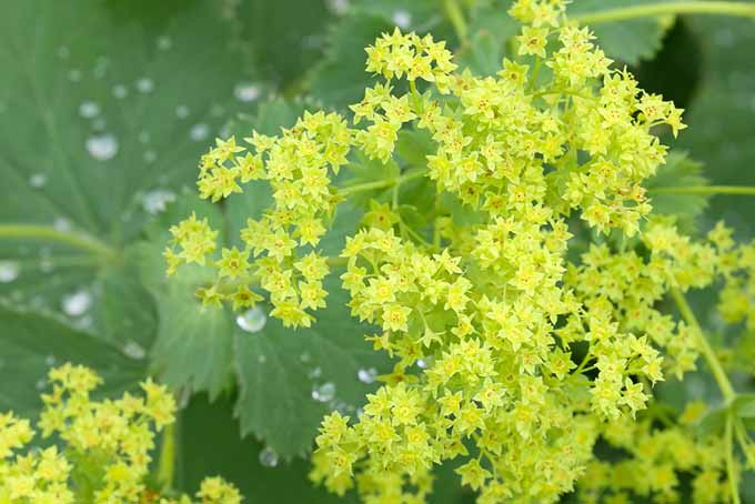 Lady's Mantle Green Flowers | GardenersPath.com
