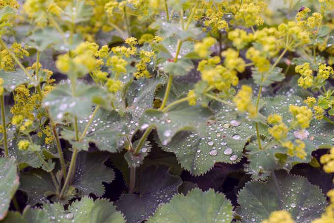 A close up of Lady's mantle growing in the garden with water droplets on the foliage, fading to soft focus in the background.