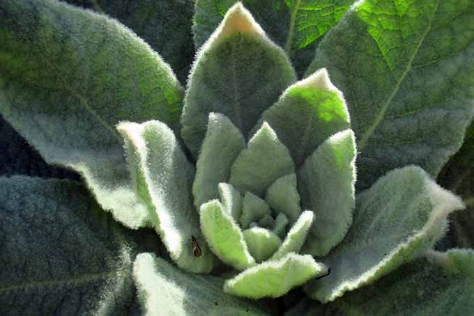 A close up of the foliage of mullein, with a slightly furry appearance, pictured in light sunshine.