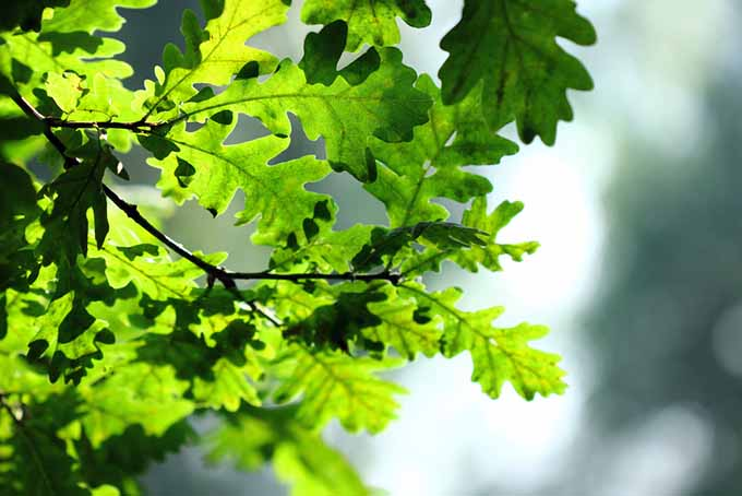 Oak Leaves | GardenersPath.com