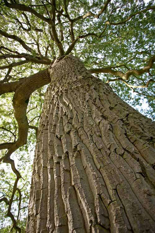 A vertical picture of a large oak tree pictured from the bottom looking up to the canopy.