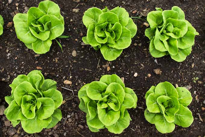 A top down view of rows of lettuce planted in the garden.