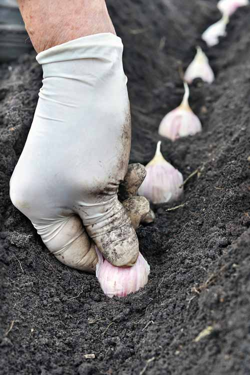 Have you ever planted garlic? You've probably cooked with it - but do you want to know how to grow it and heal with it? Learn right here at Gardener's Path: https://gardenerspath.com/plants/vegetables/growing-garlic