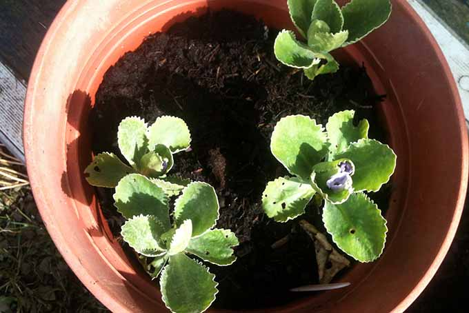 Potted Primulas | GardenersPath.com