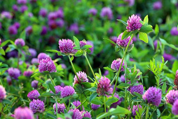 Red Clover Cover Crop | GardenersPath.com