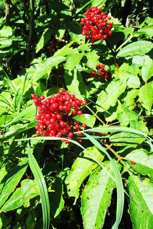 A close up of the bright red berries and light green foliage of the elderberry bush, pictured in bright sunshine.