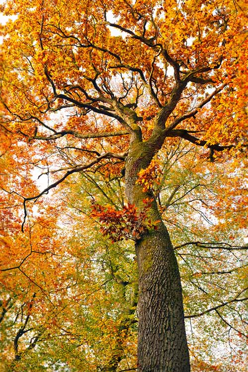 A vertical picture of a large oak tree with red autumn leaves.