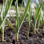 Row of Planted Garlic | GardenersPath.com