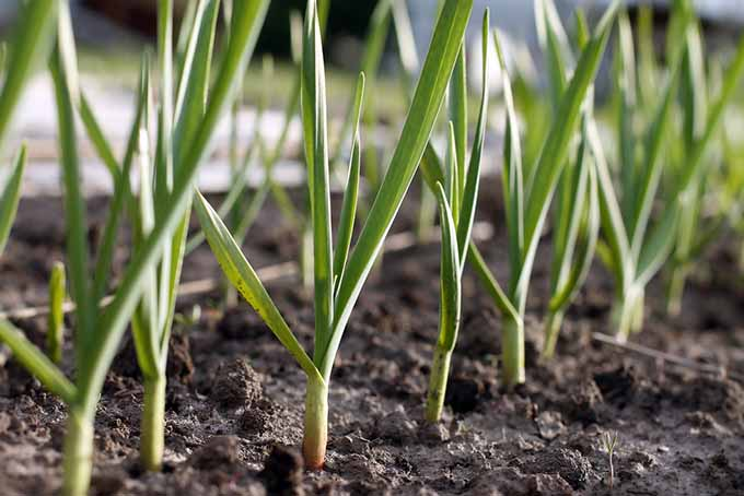 Row of Planted Garlic | GardenersPath.com