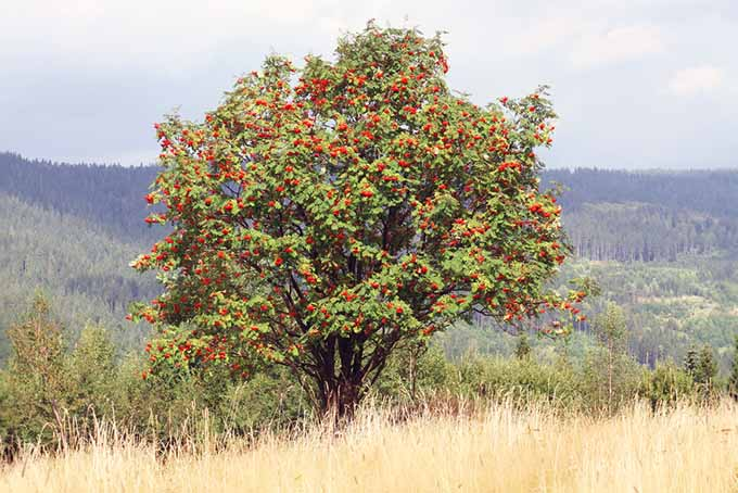 A rowan tree, with bright red blooms, growing at the edge of a field with pine forest in soft focus in the background.